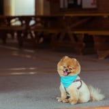 Pomeranian dog sitting cute pets Royalty Free Stock Image