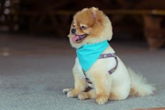 Pomeranian dog sitting cute pets Royalty Free Stock Photos