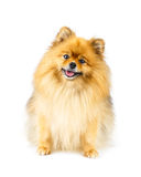 Pomeranian dog sitting on the floor isolated on white background Royalty Free Stock Image
