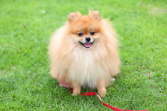 Pomeranian dog sitting on green grass Royalty Free Stock Photography