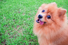 Pomeranian dog sitting on green grass looking at the camera. Pomeranian dog sitting on green grass looking at the camera in morning day Royalty Free Stock Photos