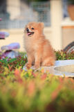 Pomeranian dog sitting in home garden Stock Photo