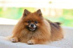 Pomeranian dog. Sitting lazy at the backyard Stock Images