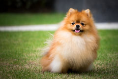 Pomeranian dog sitting in the outdoor garden Royalty Free Stock Photo