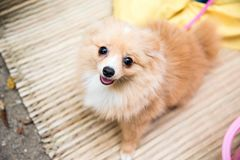 Pomeranian dog sitting stock photo
