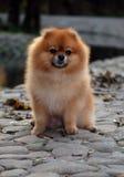 Pomeranian dog. Pomeranian sitting dog on a stone floor Royalty Free Stock Photos