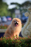 Pomeranian dog sitting and watching in home garden Stock Photo