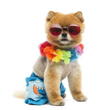 Pomeranian dog sitting, wearing shorts, Hawaiian lei, short, red Stock Images