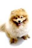 Pomeranian dog. Portrait of sitting pomeranian spitz isolated on white Stock Photo