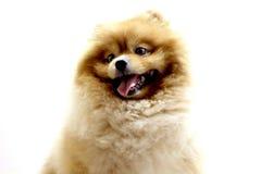Pomeranian dog. Portrait of sitting pomeranian spitz isolated on white Royalty Free Stock Photo