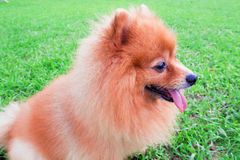 Pomeranian dog slick seats on the grass green. Pomeranian dog slick seats on the grass green in morning day Royalty Free Stock Photos