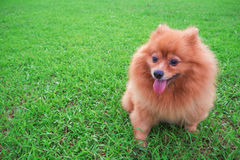 Pomeranian dog Slick Tongue seats on the grass green. Pomeranian dog Slick Tongue seats on the grass green in morning day Stock Photography