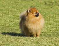 Pomeranian dog Stock Photo