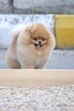Pomeranian dog. A small  Pomeranian dog in to a dog pound Stock Image