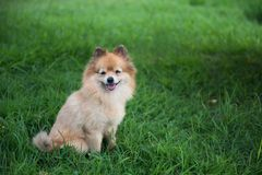 Pomeranian dog smiling at meadow. Adorable Brown Pomeranian dog smiling and sitting on greenery grass meadow with copy space for text. Portrait of cute puppy pet Royalty Free Stock Photo