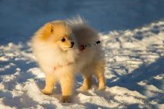 Pomeranian Dog on snow