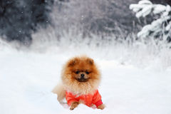 Pomeranian dog in snow. Winter dog. Dog in snow. Spitz in winter forest. Royalty Free Stock Photography