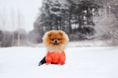 Pomeranian dog in snow. Winter dog. Dog in snow. Spitz in winter forest. Stock Photo