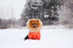 Pomeranian dog in snow. Winter dog. Dog in snow. Spitz in winter forest. Stock Photo