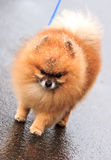 Pomeranian dog and snowfall stock photos