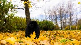 Pomeranian dog. spitz animal postcard autumn leaves Royalty Free Stock Photos