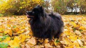 Pomeranian dog. spitz animal postcard autumn leaves Stock Images
