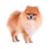 Pomeranian dog stand on white background Royalty Free Stock Photo