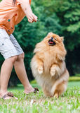 Pomeranian dog standing on its hind legs to get a treat Stock Images