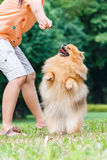 Pomeranian dog standing on its hind legs to get a treat Royalty Free Stock Photos