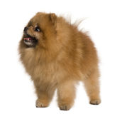 Pomeranian dog, standing and looking up Royalty Free Stock Photography