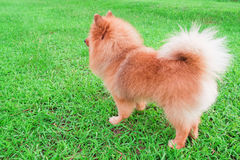 Pomeranian dog stands on soft green grass. Pomeranian dog stands on soft green grass in morning day Royalty Free Stock Photo