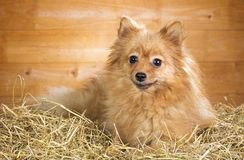 Pomeranian dog on a straw Royalty Free Stock Image