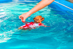 Pomeranian dog swimming in the pool Stock Photos