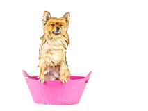 Pomeranian dog taking a bath standing in pink bathtub isolated Royalty Free Stock Photography