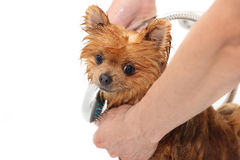A pomeranian dog taking a shower with soap and water. Dog on white background. Dog in bath Royalty Free Stock Images