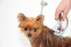 A pomeranian dog taking a shower with soap and water. Dog on white background. Dog in bath Royalty Free Stock Photo