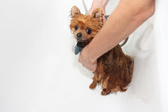 A pomeranian dog taking a shower with soap and water. Dog on white background. Dog in bath Royalty Free Stock Photos