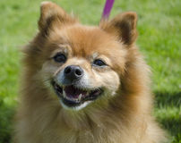 Pomeranian Dog. Tan Pomeranian dog headshot outdoors Royalty Free Stock Photo