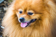 Pomeranian dog. With Tongue out Stock Photography