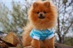 Pomeranian dog Stock Photography