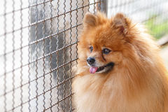 Pomeranian dog waiting for owner Royalty Free Stock Photo