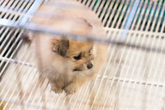 Pomeranian dog waiting for owner to come home Stock Photo