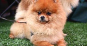Pomeranian dog on a walk stock video footage