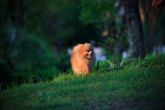 Pomeranian dog walking on green grass Royalty Free Stock Image