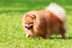 Pomeranian dog walking on green grass in the garden Royalty Free Stock Photos