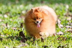 Pomeranian dog walking on green grass in the garden Royalty Free Stock Photo