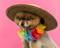 Pomeranian dog wearing a colored hat and a Hawaiian lei Royalty Free Stock Image