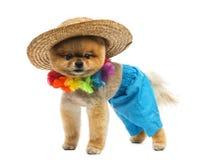 Pomeranian dog wearing short, Hawaiian lei, hat Stock Photography