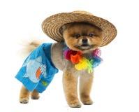 Pomeranian dog wearing short, Hawaiian lei, hat Stock Photos