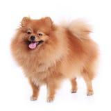 Pomeranian dog Stock Images